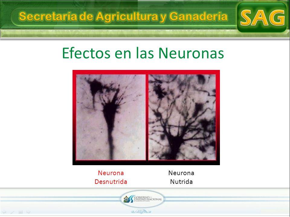 Efectos en las Neuronas Neurona Desnutrida Neurona Nutrida