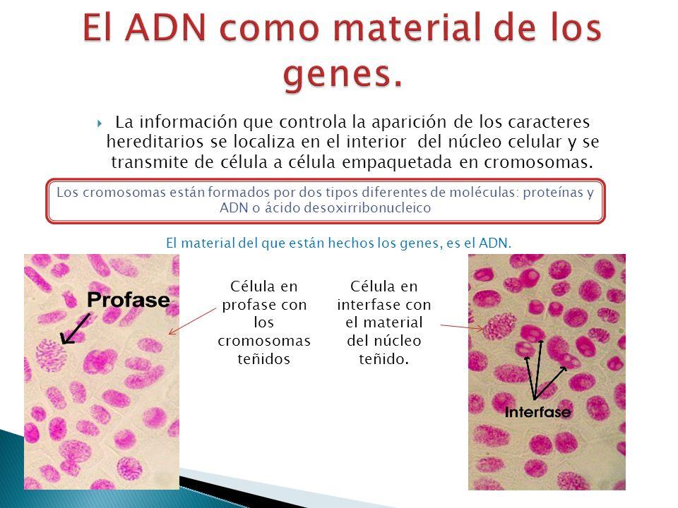 La información que controla la aparición de los caracteres hereditarios se localiza en el interior del núcleo celular y se transmite de célula a célul