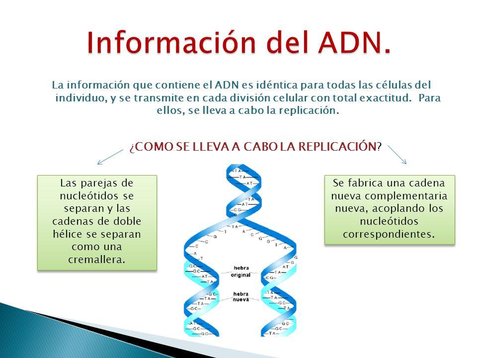 La información que contiene el ADN es idéntica para todas las células del individuo, y se transmite en cada división celular con total exactitud. Para