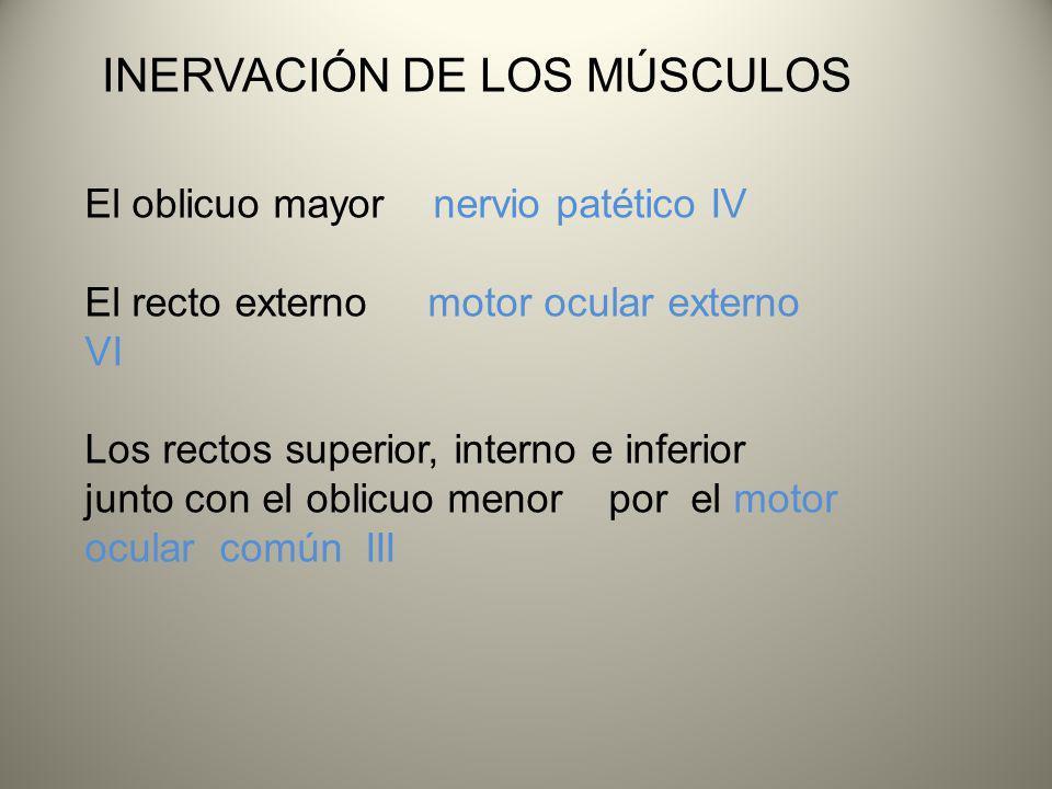 INERVACIÓN DE LOS MÚSCULOS El oblicuo mayor nervio patético IV El recto externo motor ocular externo VI Los rectos superior, interno e inferior junto