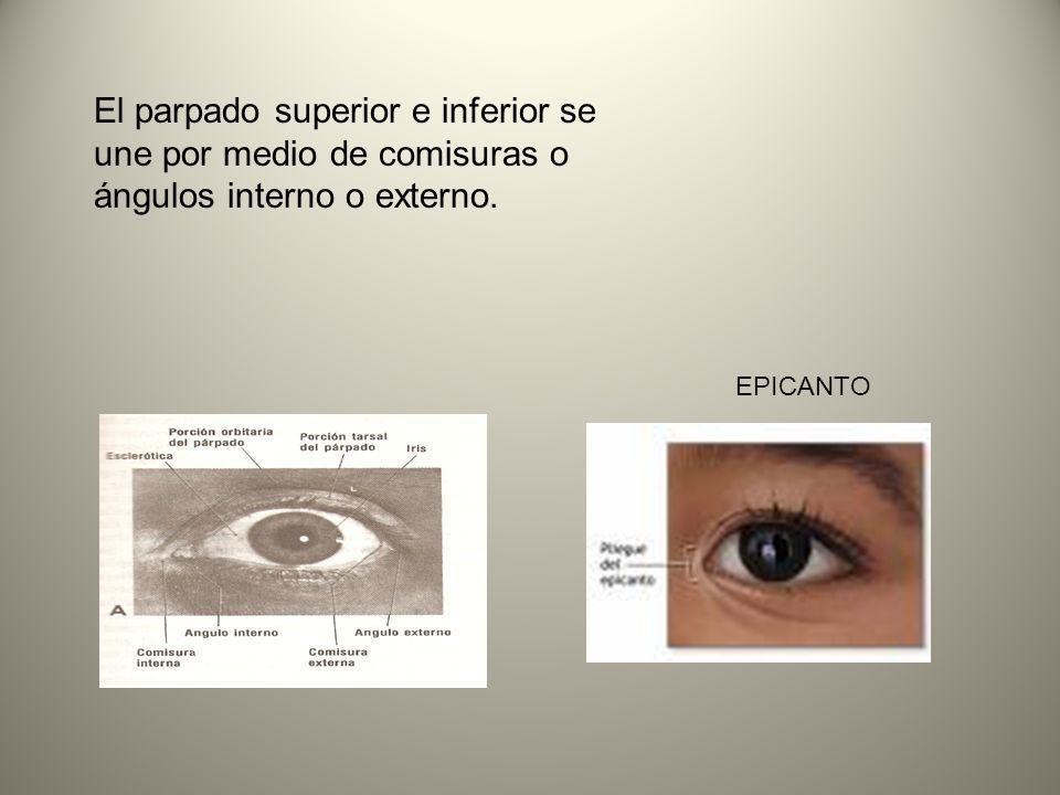 El parpado superior e inferior se une por medio de comisuras o ángulos interno o externo. EPICANTO