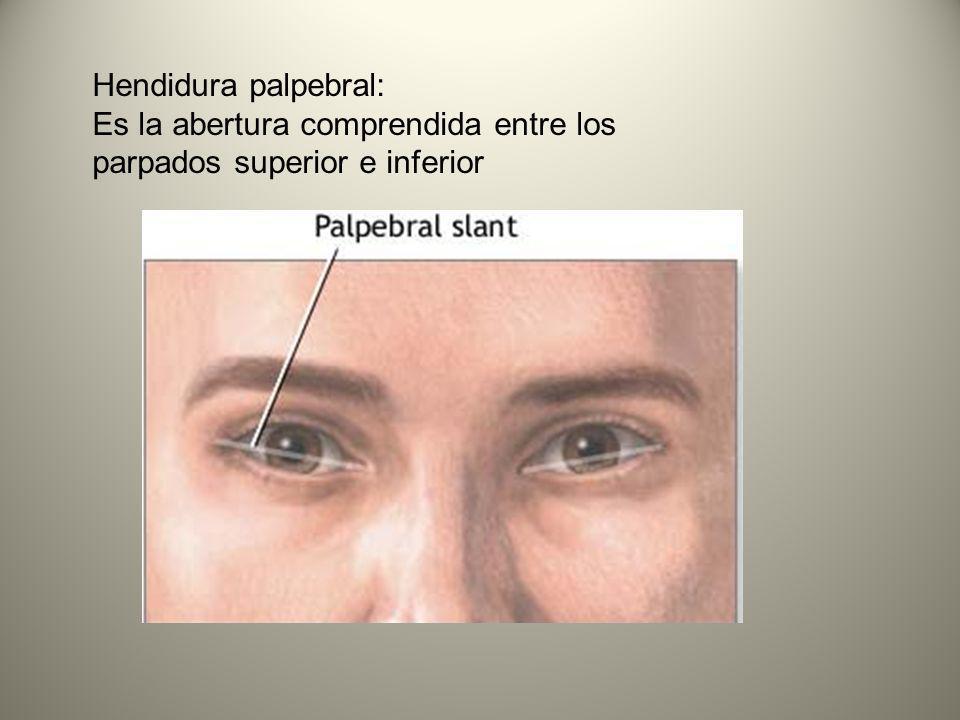 Hendidura palpebral: Es la abertura comprendida entre los parpados superior e inferior
