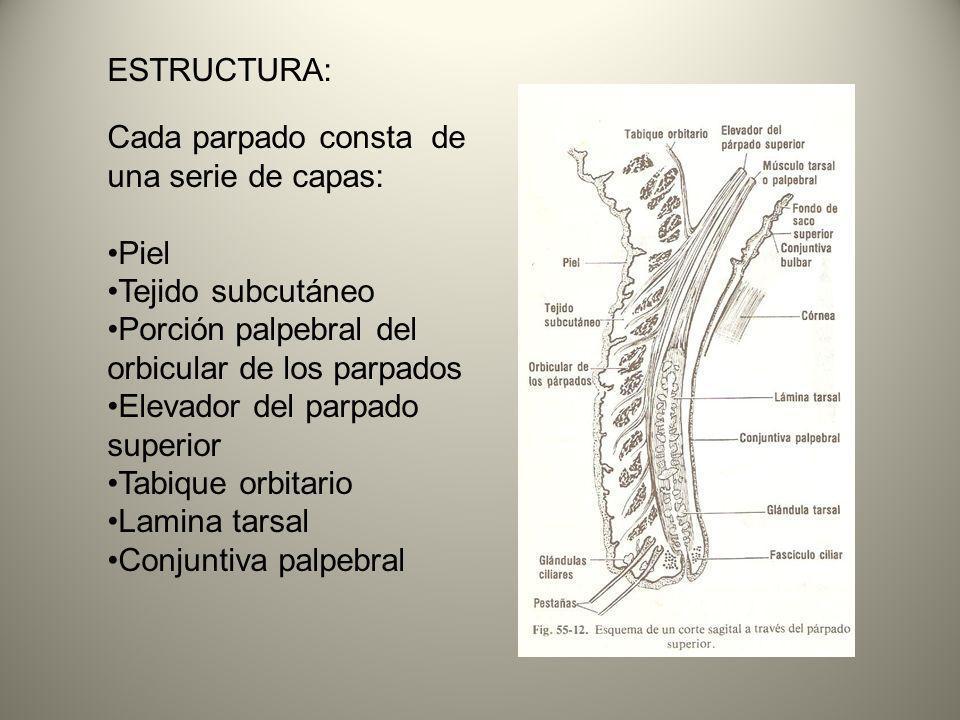 ESTRUCTURA: Cada parpado consta de una serie de capas: Piel Tejido subcutáneo Porción palpebral del orbicular de los parpados Elevador del parpado sup