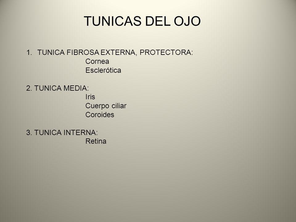 TUNICAS DEL OJO 1.TUNICA FIBROSA EXTERNA, PROTECTORA: Cornea Esclerótica 2. TUNICA MEDIA: Iris Cuerpo ciliar Coroides 3. TUNICA INTERNA: Retina