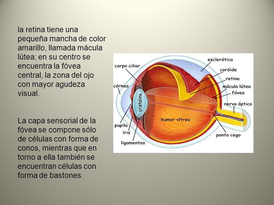 la retina tiene una pequeña mancha de color amarillo, llamada mácula lútea; en su centro se encuentra la fóvea central, la zona del ojo con mayor agud