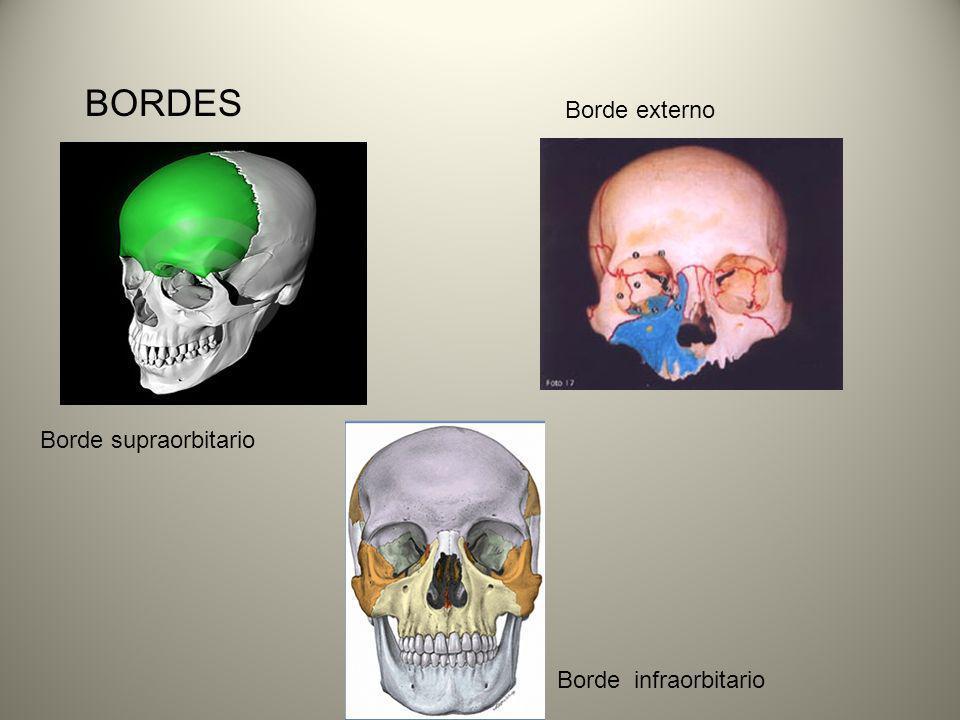 BORDES Borde supraorbitario Borde externo Borde infraorbitario