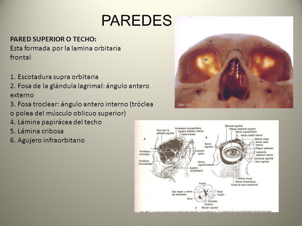 PAREDES PARED SUPERIOR O TECHO: Esta formada por la lamina orbitaria frontal 1. Escotadura supra orbitaria 2. Fosa de la glándula lagrimal: ángulo ant