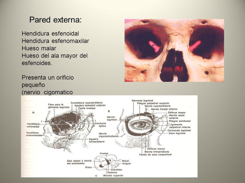Pared externa: Hendidura esfenoidal Hendidura esfenomaxilar Hueso malar Hueso del ala mayor del esfenoides. Presenta un orificio pequeño (nervio cigom