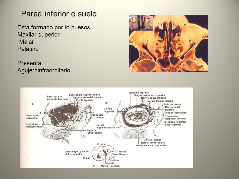 Pared inferior o suelo Esta formado por lo huesos: Maxilar superior Malar Palatino Presenta: Agujeroinfraorbitario