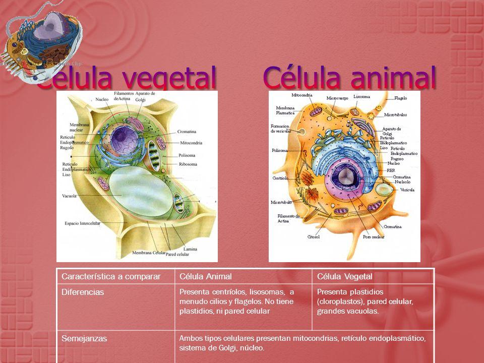 Característica a compararCélula AnimalCélula Vegetal Diferencias Presenta centríolos, lisosomas, a menudo cilios y flagelos. No tiene plastidios, ni p