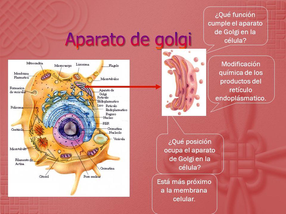 ¿Qué posición ocupa el aparato de Golgi en la célula? Está más próximo a la membrana celular. Modificación química de los productos del retículo endop