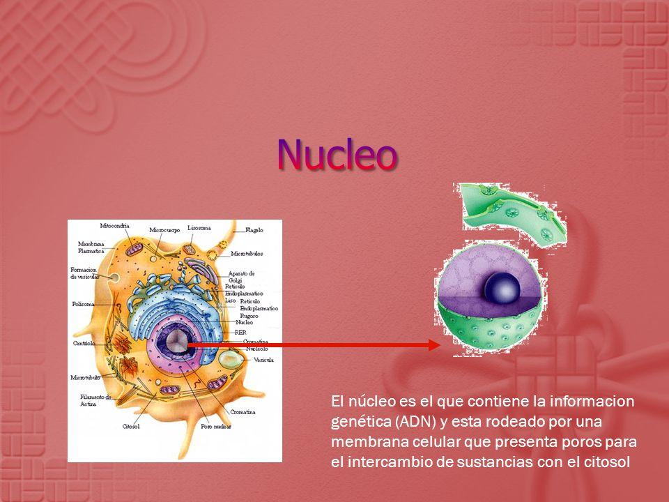 El núcleo es el que contiene la informacion genética (ADN) y esta rodeado por una membrana celular que presenta poros para el intercambio de sustancia