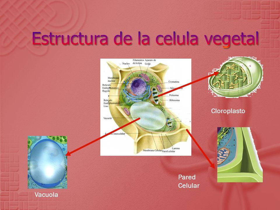 Vacuola Pared Celular Cloroplasto
