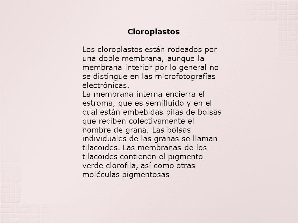 Cloroplastos Los cloroplastos están rodeados por una doble membrana, aunque la membrana interior por lo general no se distingue en las microfotografía