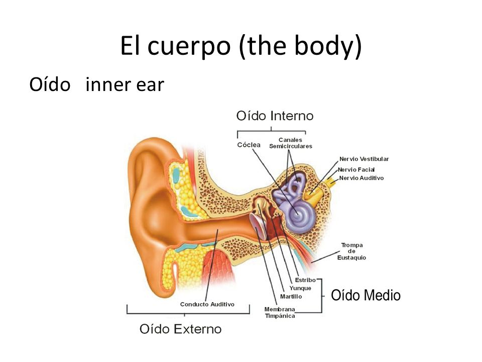 El cuerpo (the body) Oído inner ear