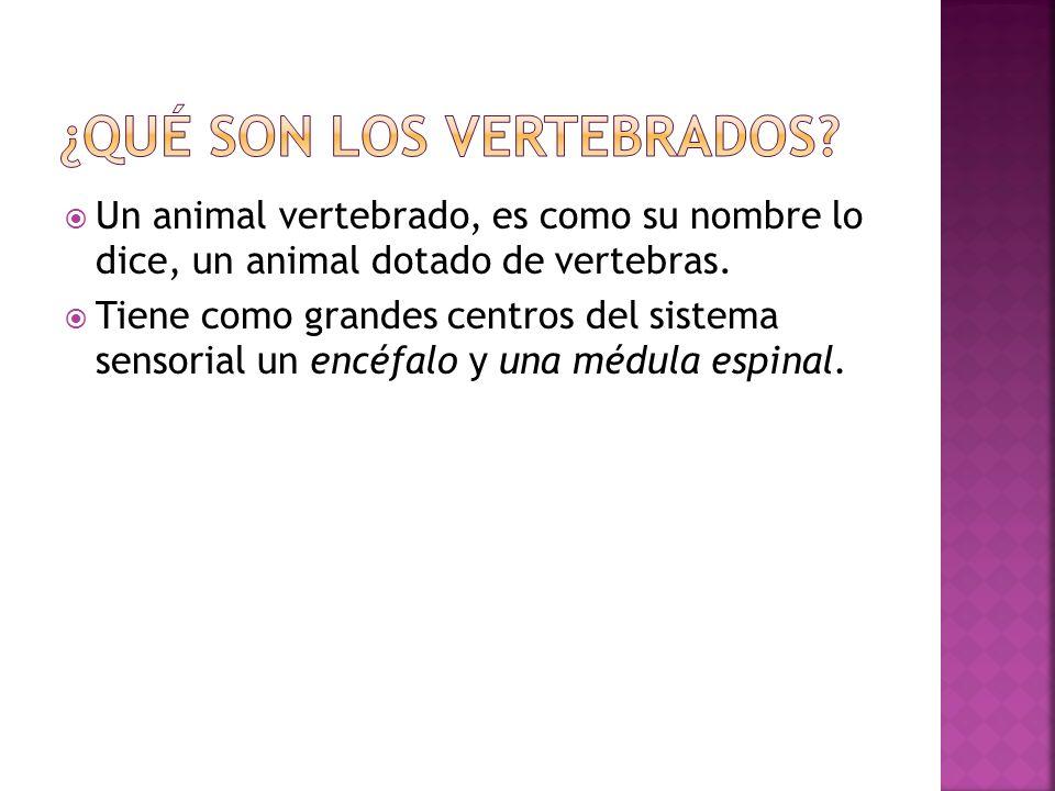 Un animal vertebrado, es como su nombre lo dice, un animal dotado de vertebras. Tiene como grandes centros del sistema sensorial un encéfalo y una méd