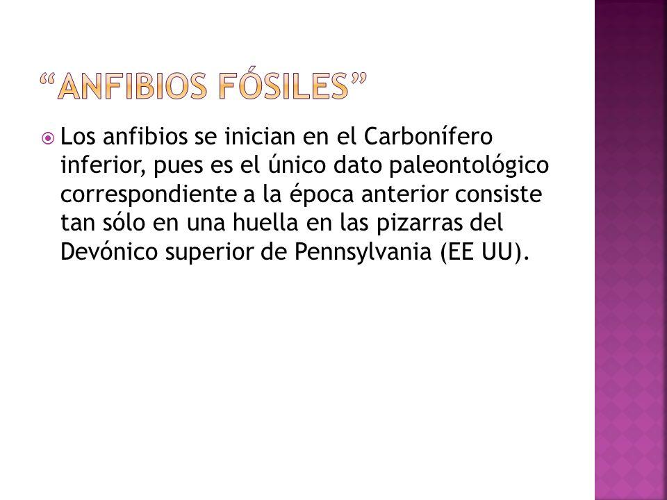 Los anfibios se inician en el Carbonífero inferior, pues es el único dato paleontológico correspondiente a la época anterior consiste tan sólo en una