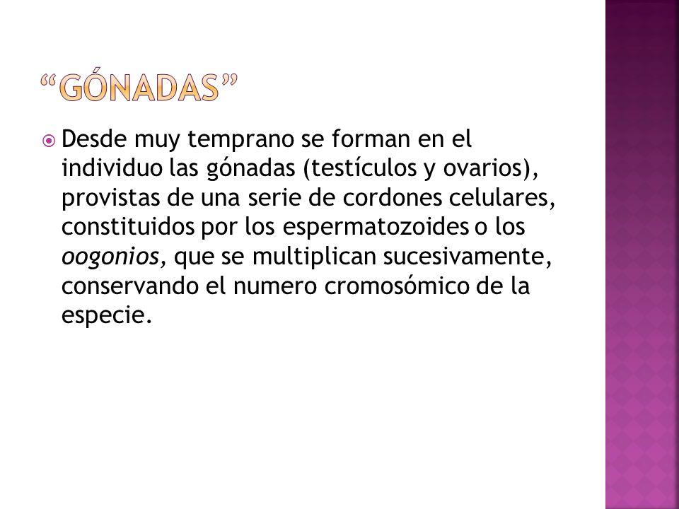 Desde muy temprano se forman en el individuo las gónadas (testículos y ovarios), provistas de una serie de cordones celulares, constituidos por los es