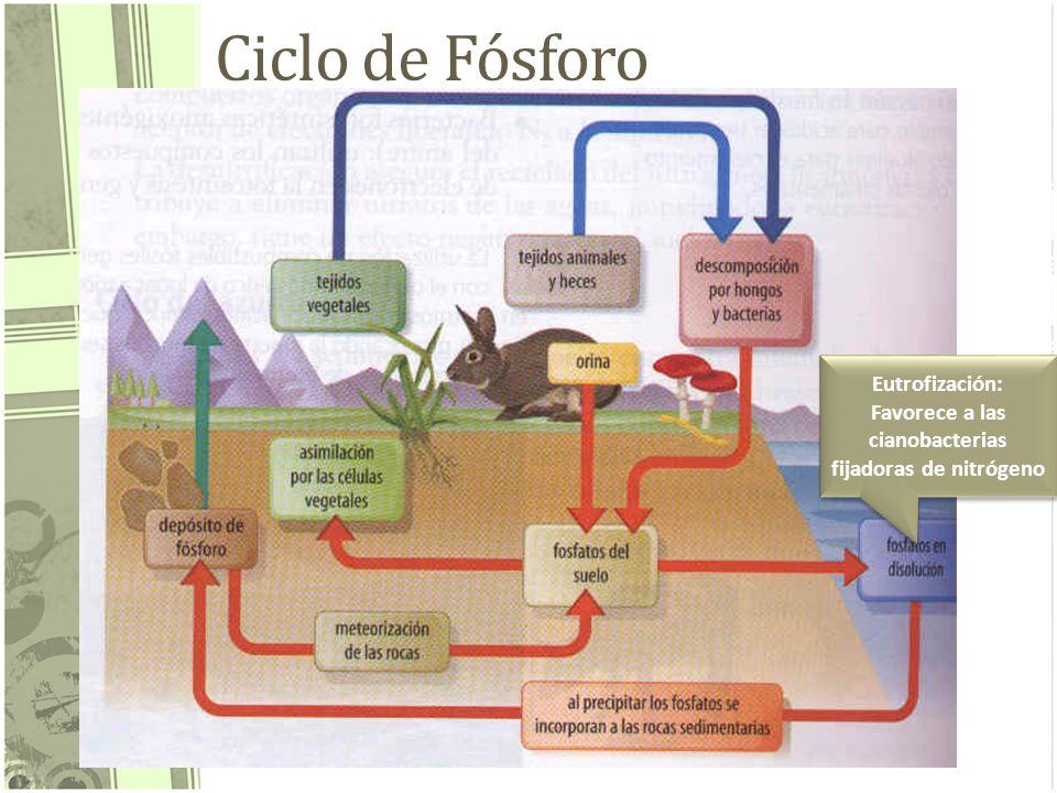 Ciclo de Fósforo Eutrofización: Favorece a las cianobacterias fijadoras de nitrógeno