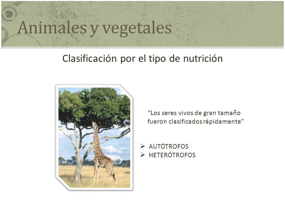Animales y vegetales Clasificación por el tipo de nutrición Los seres vivos de gran tamaño fueron clasificados rápidamente AUTÓTROFOS HETERÓTROFOS