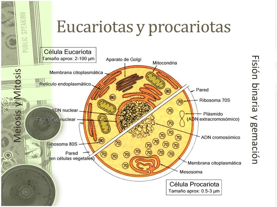 Eucariotas y procariotas Meiosis y Mitosis Fisión binaria y gemación