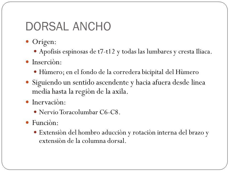 DORSAL ANCHO Origen: Apofisis espinosas de t7-t12 y todas las lumbares y cresta Iliaca. Inserciòn: Hùmero; en el fondo de la corredera bicipital del H
