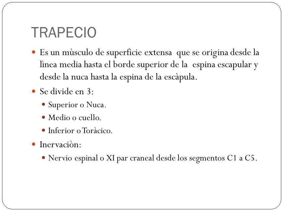 TRAPECIO Es un mùsculo de superficie extensa que se origina desde la lìnea media hasta el borde superior de la espina escapular y desde la nuca hasta la espina de la escàpula.