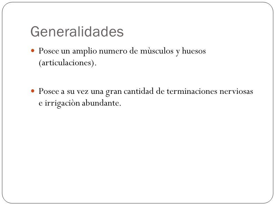 Generalidades Posee un amplio numero de mùsculos y huesos (articulaciones). Posee a su vez una gran cantidad de terminaciones nerviosas e irrigaciòn a