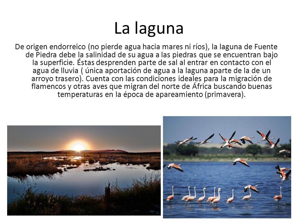 La laguna De origen endorreico (no pierde agua hacia mares ni ríos), la laguna de Fuente de Piedra debe la salinidad de su agua a las piedras que se e
