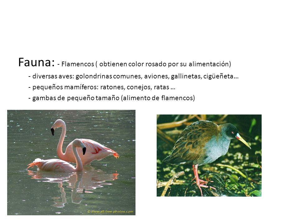 Fauna: - Flamencos ( obtienen color rosado por su alimentación) - diversas aves: golondrinas comunes, aviones, gallinetas, cigüeñeta… - pequeños mamíf