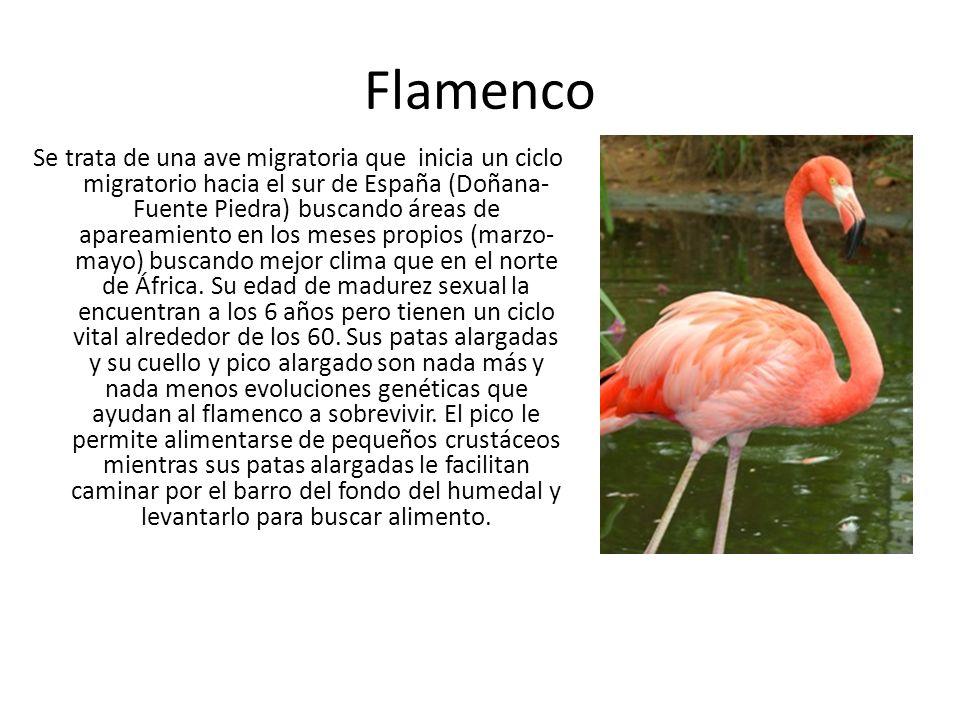 Flamenco Se trata de una ave migratoria que inicia un ciclo migratorio hacia el sur de España (Doñana- Fuente Piedra) buscando áreas de apareamiento e