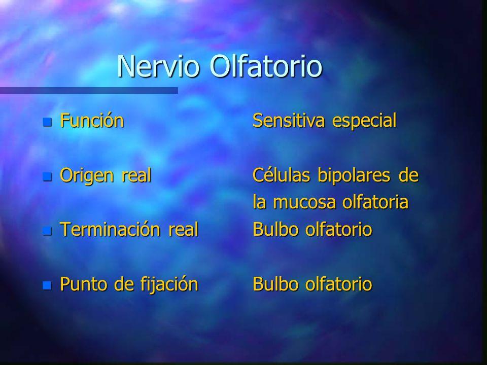 n Función n Origen real n Terminación real n Punto de fijación Sensitiva especial Células bipolares de la mucosa olfatoria Bulbo olfatorio Nervio Olfa