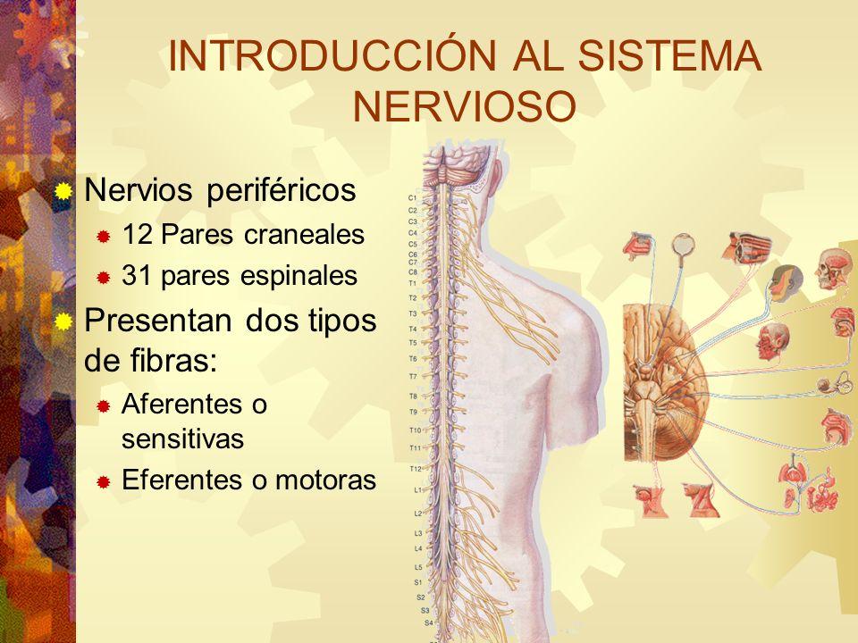 Nervios periféricos 12 Pares craneales 31 pares espinales Presentan dos tipos de fibras: Aferentes o sensitivas Eferentes o motoras INTRODUCCIÓN AL SI