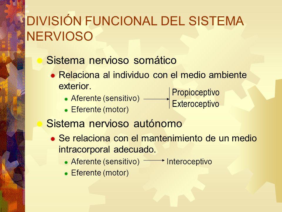 DIVISIÓN FUNCIONAL DEL SISTEMA NERVIOSO Sistema nervioso somático Relaciona al individuo con el medio ambiente exterior. Aferente (sensitivo) Eferente