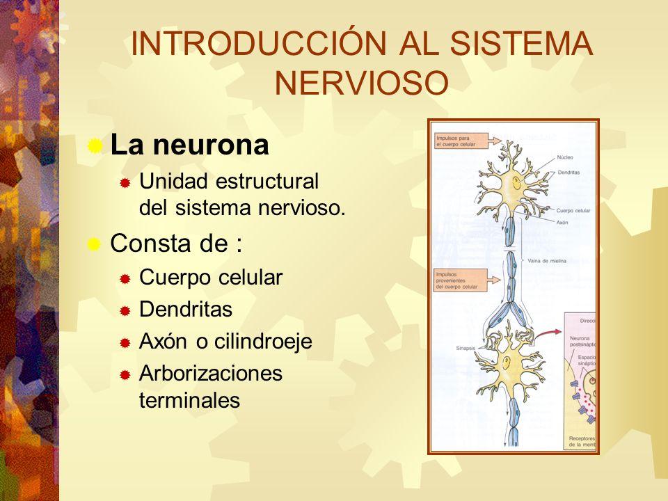 La neurona Unidad estructural del sistema nervioso. Consta de : Cuerpo celular Dendritas Axón o cilindroeje Arborizaciones terminales INTRODUCCIÓN AL