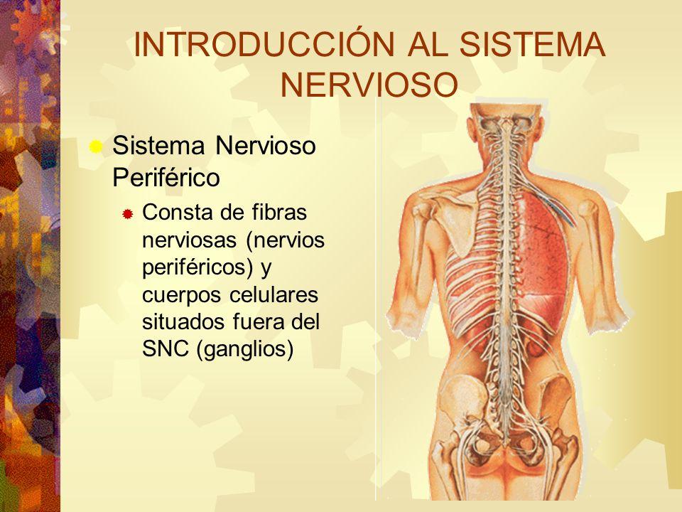 Sistema Nervioso Periférico Consta de fibras nerviosas (nervios periféricos) y cuerpos celulares situados fuera del SNC (ganglios) INTRODUCCIÓN AL SIS