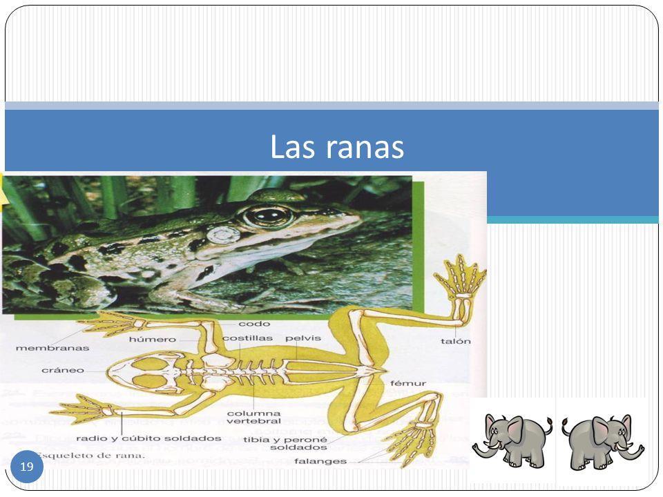 Los anfibios son vertebrados de sangre fría que viven parte de su vida en el agua y parte en la tierra se llaman anfibios. Su piel es resbalosa y húme