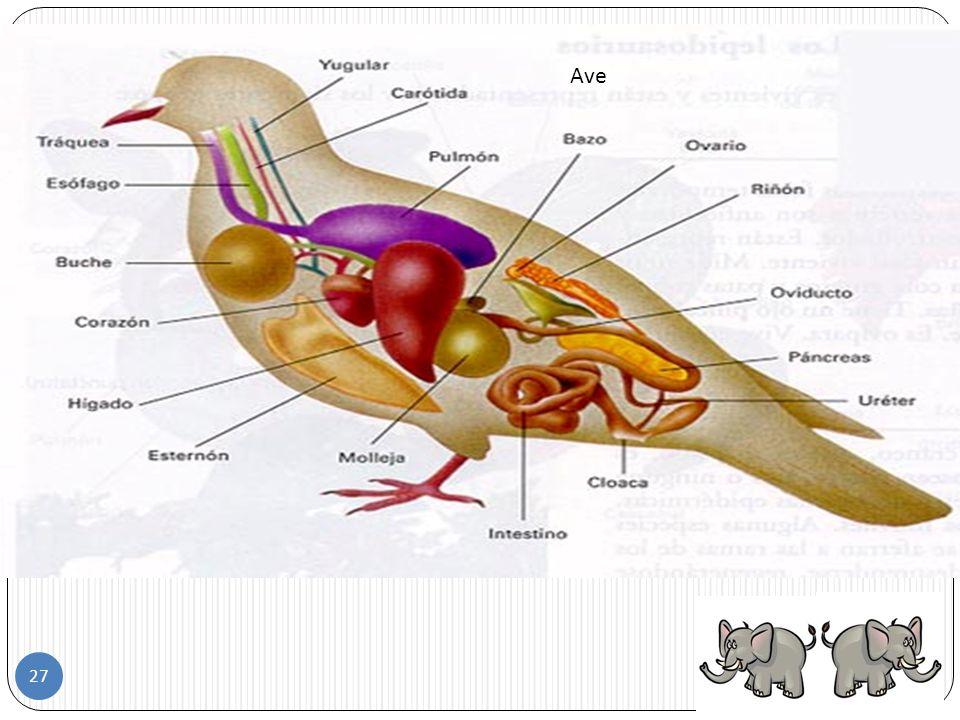 En el cuerpo de las aves se pueden distinguir cuatro partes: 1. Cabeza 2. Tronco 3. Extremidades (patas y alas) 4. cola Las aves 26