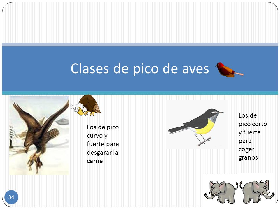 Clases de picos de las aves Esta el pico ancho para coger los alimentos del agua Pico fino y largo para chupar el nectar de las flores 33