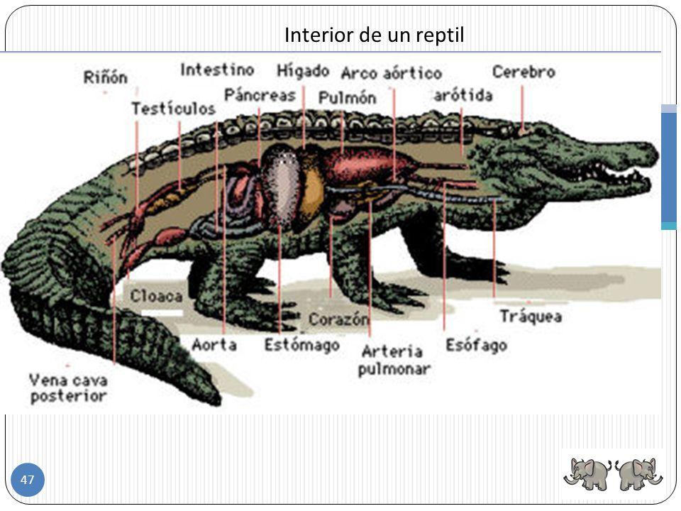 Todos los reptiles son carnívoros y cazadores. Poseen dientes para devorar a su presa y comen desde insectos hasta grandes mamíferos. Reptiles Algunos