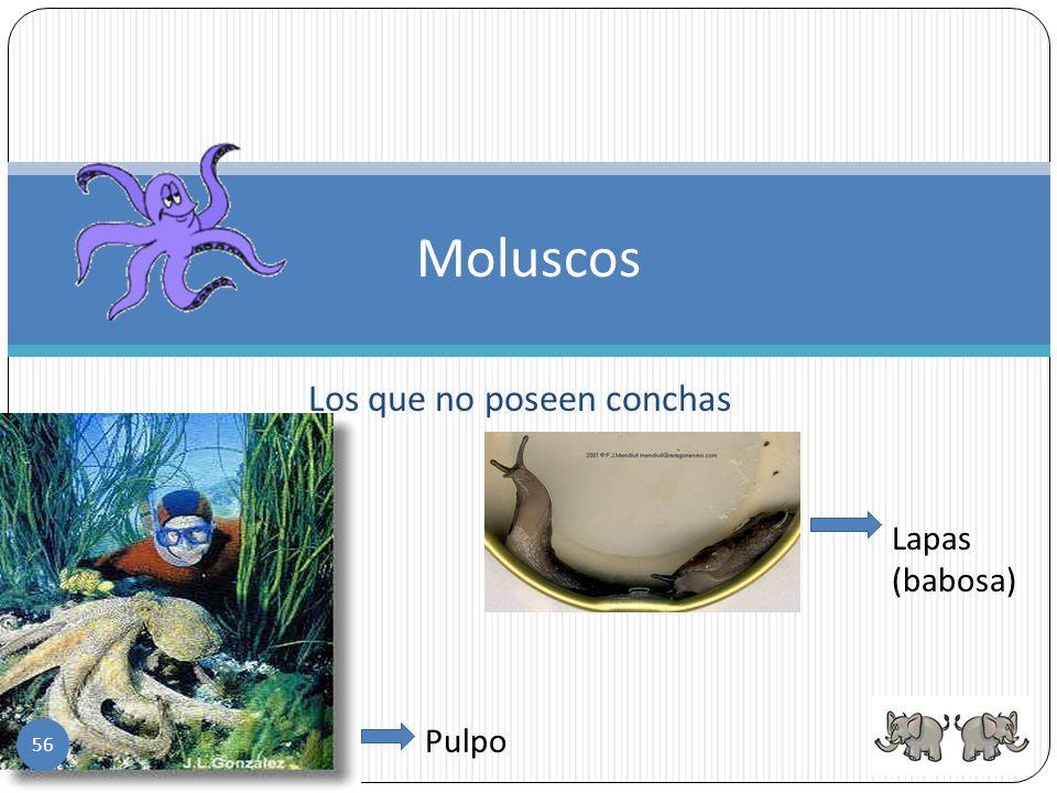 Los moluscos- tienen el cuerpo blando, su piel es húmeda, carecen de patas y casi todos tienen conchas. Respiran por pulmones o branquias y son ovípar