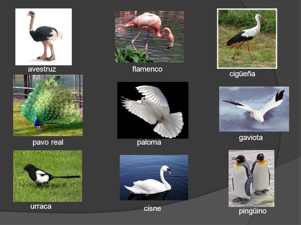 cisne flamenco urraca pavo real avestruz pingüino paloma gaviota cigüeña