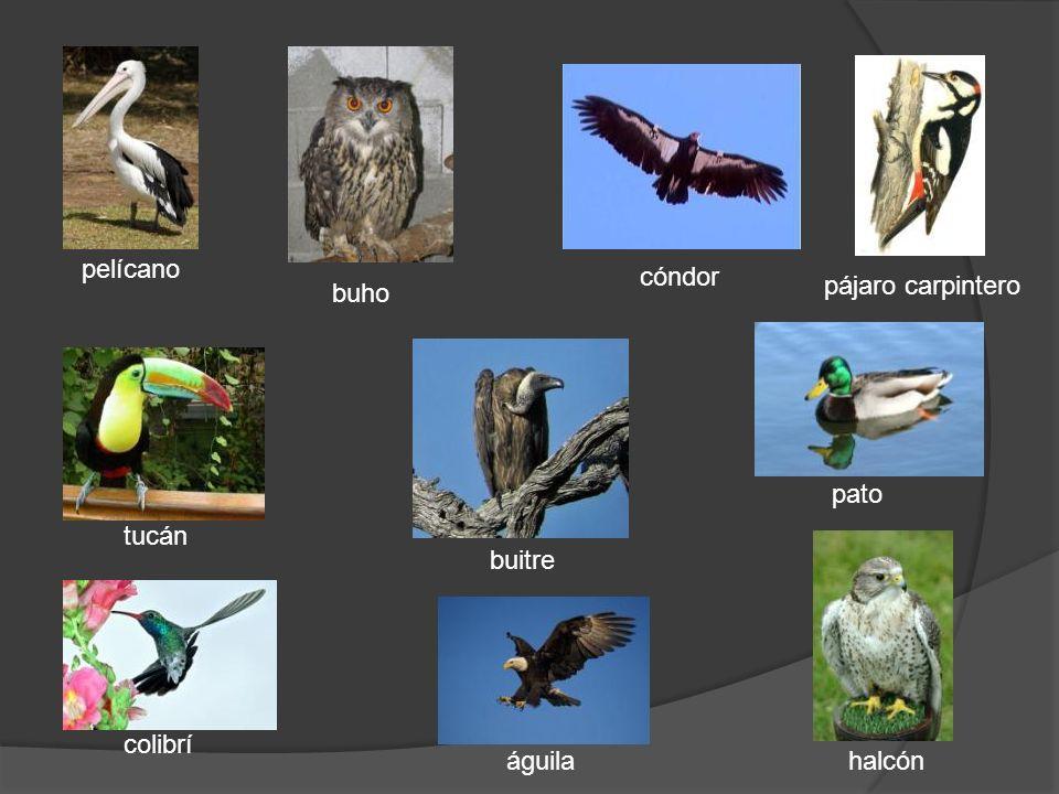 buho pelícano tucán colibrí águila buitre halcón pato pájaro carpintero cóndor