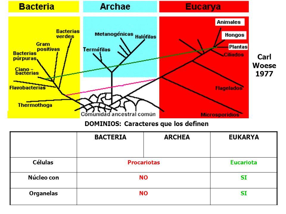 DOMINIOS: Caracteres que los definen BACTERIAARCHEAEUKARYA Células ProcariotasEucariota Núcleo conNOSI OrganelasNOSI Carl Woese 1977