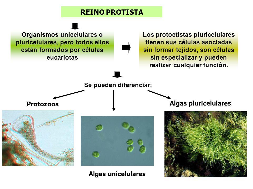 REINO PROTISTA Los protoctistas pluricelulares tienen sus células asociadas sin formar tejidos, son células sin especializar y pueden realizar cualqui