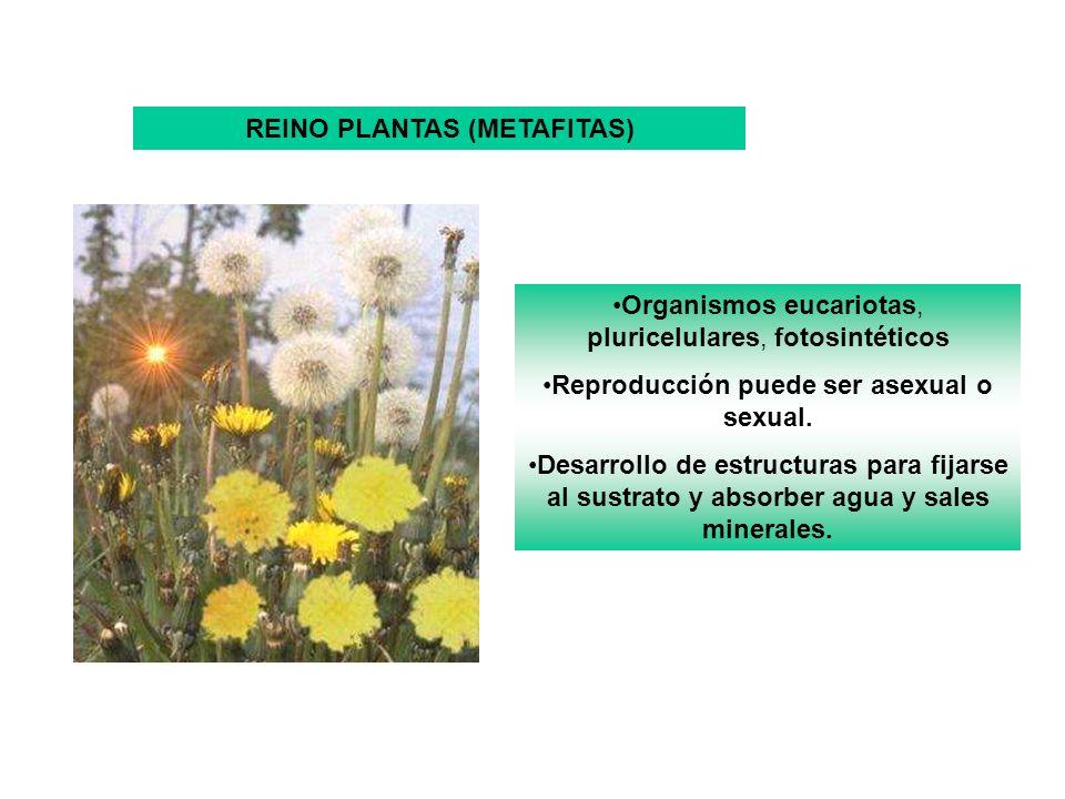 REINO PLANTAS (METAFITAS) Organismos eucariotas, pluricelulares, fotosintéticos Reproducción puede ser asexual o sexual. Desarrollo de estructuras par