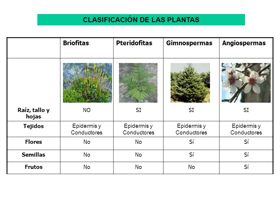 BriofitasPteridofitasGimnospermasAngiospermas Raíz, tallo y hojas NOSI Tejidos Epidermis y Conductores FloresNo Sí SemillasNo Sí FrutosNo Sí CLASIFICA