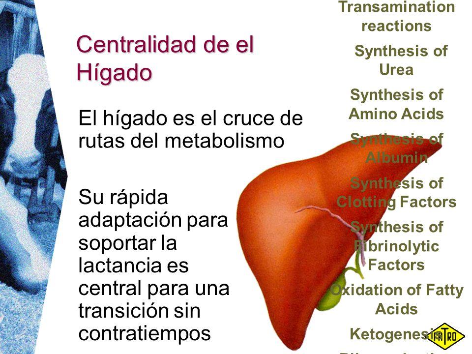 Centralidad de el Hígado Su rápida adaptación para soportar la lactancia es central para una transición sin contratiempos El hígado es el cruce de rut