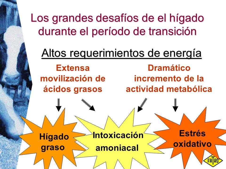 Los grandes desafíos de el hígado durante el período de transición Extensa movilización de ácidos grasos Dramático incremento de la actividad metabóli