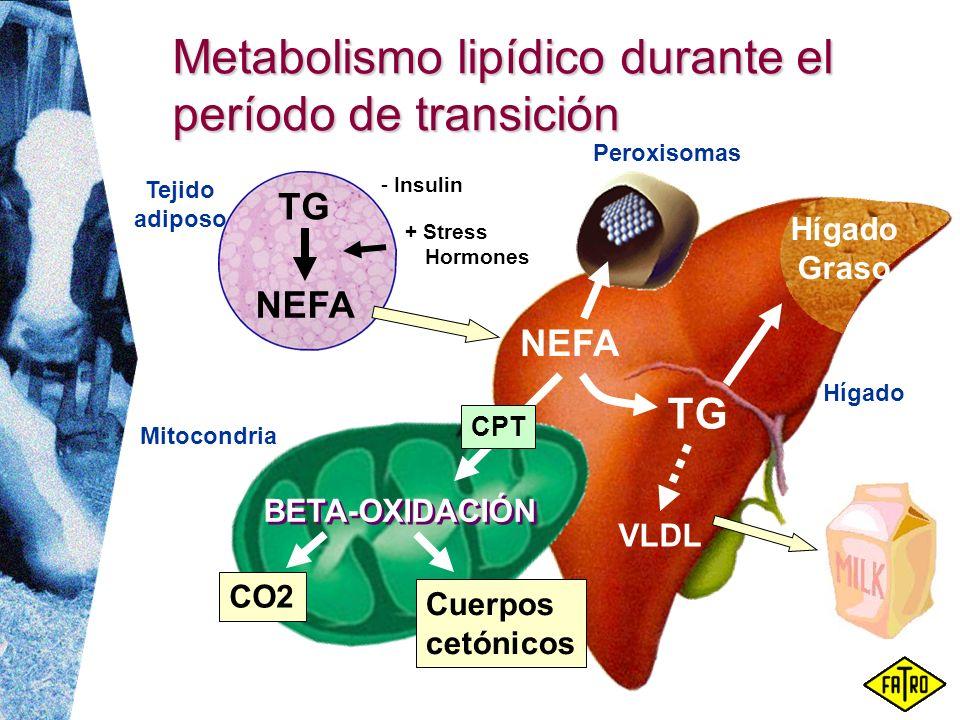 Metabolismo lipídico durante el período de transición Tejido adiposo NEFA TG NEFA CPT BETA-OXIDACIÓN TG VLDL Hígado CO2 Cuerpos cetónicos Hígado Graso